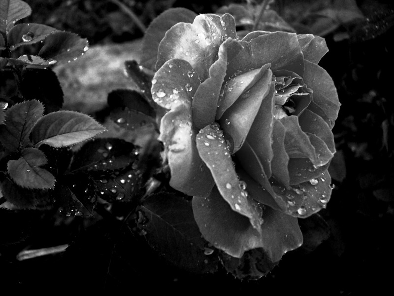 Black And White Rose Wallpaper