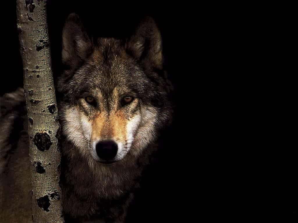 Wolf Ing Wallpaper 1024x768 Wolf Ing Wolves 1024x768