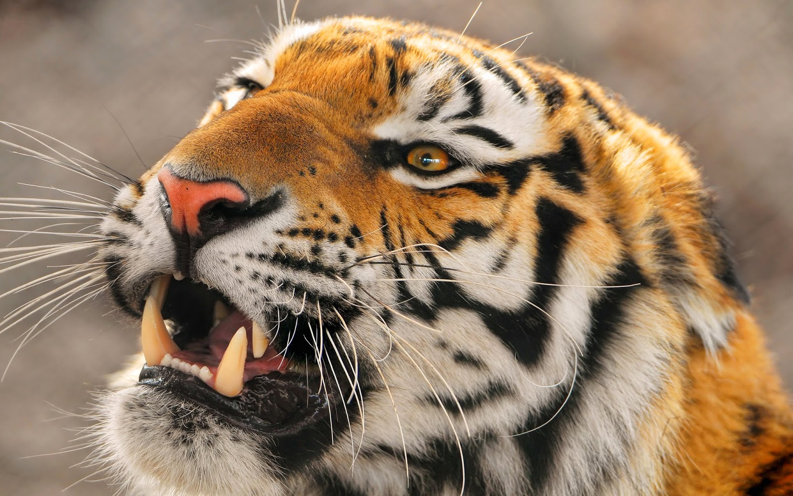 Free Download Desktop Hd Wallpapers Downloads Angry Tiger Hd