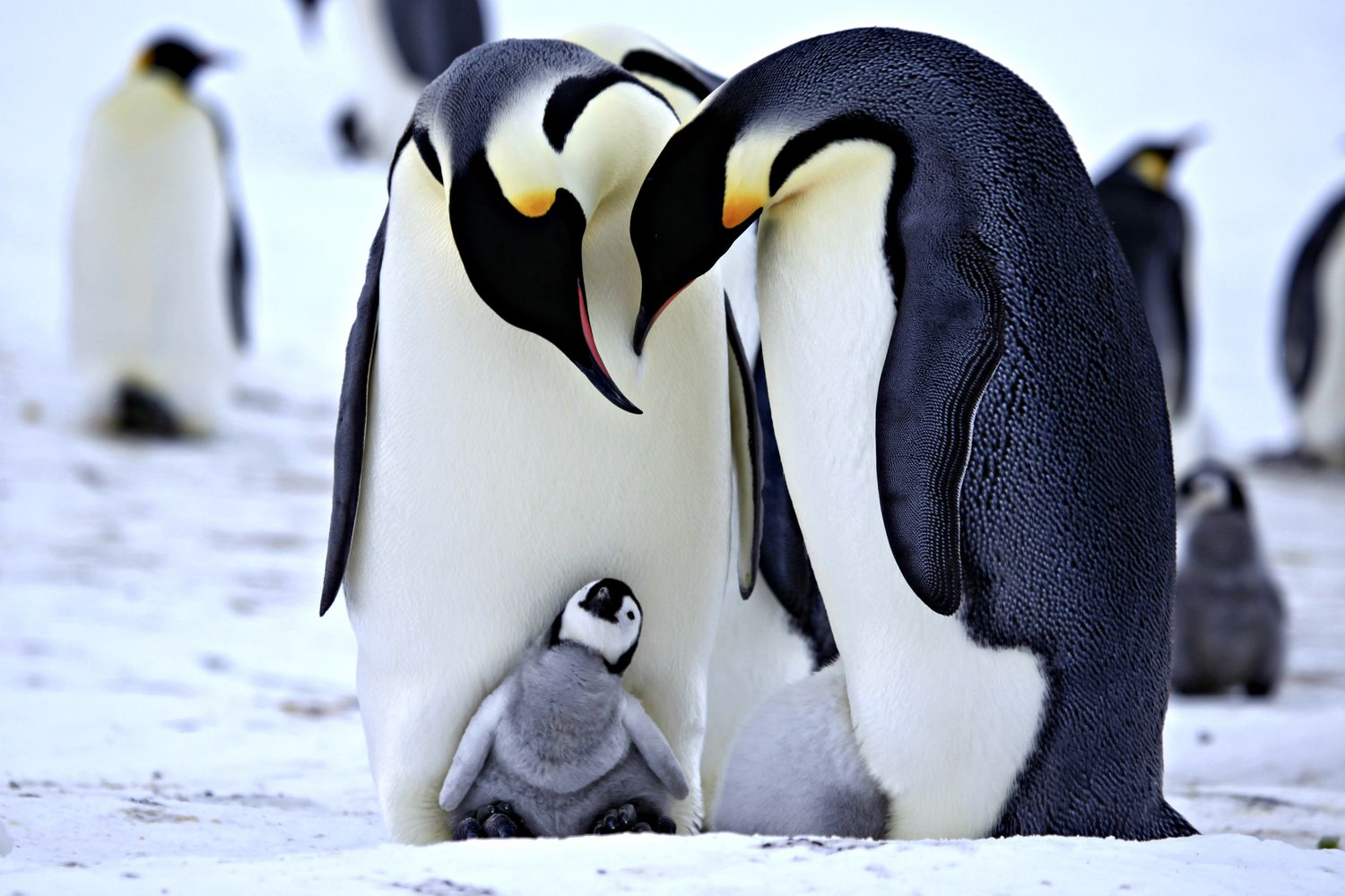 Penguins Wallpapers F483V96 16883 Kb WallpapersExpertcom 1500x1000