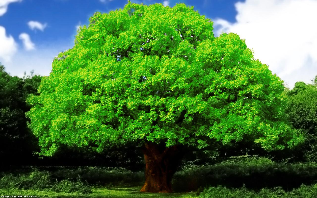 Oak tree by attila0427 1280x800