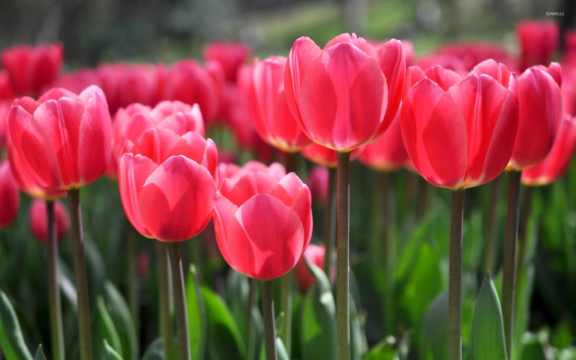 Pink Tulips Wallpaper - WallpaperSafari