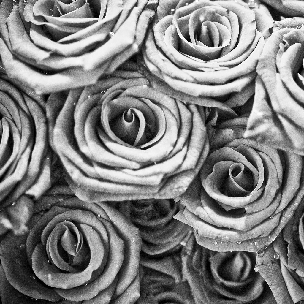 Black And White Rose Wallpaper Wallpapersafari