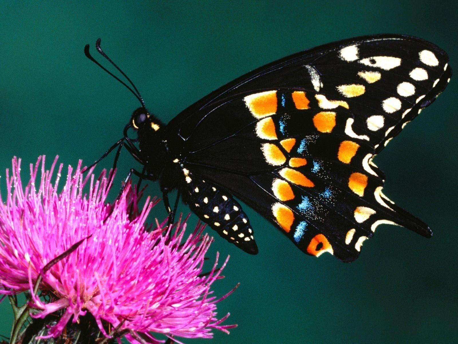 Beautiful Butterflies   Butterflies Wallpaper 9481950 1600x1200