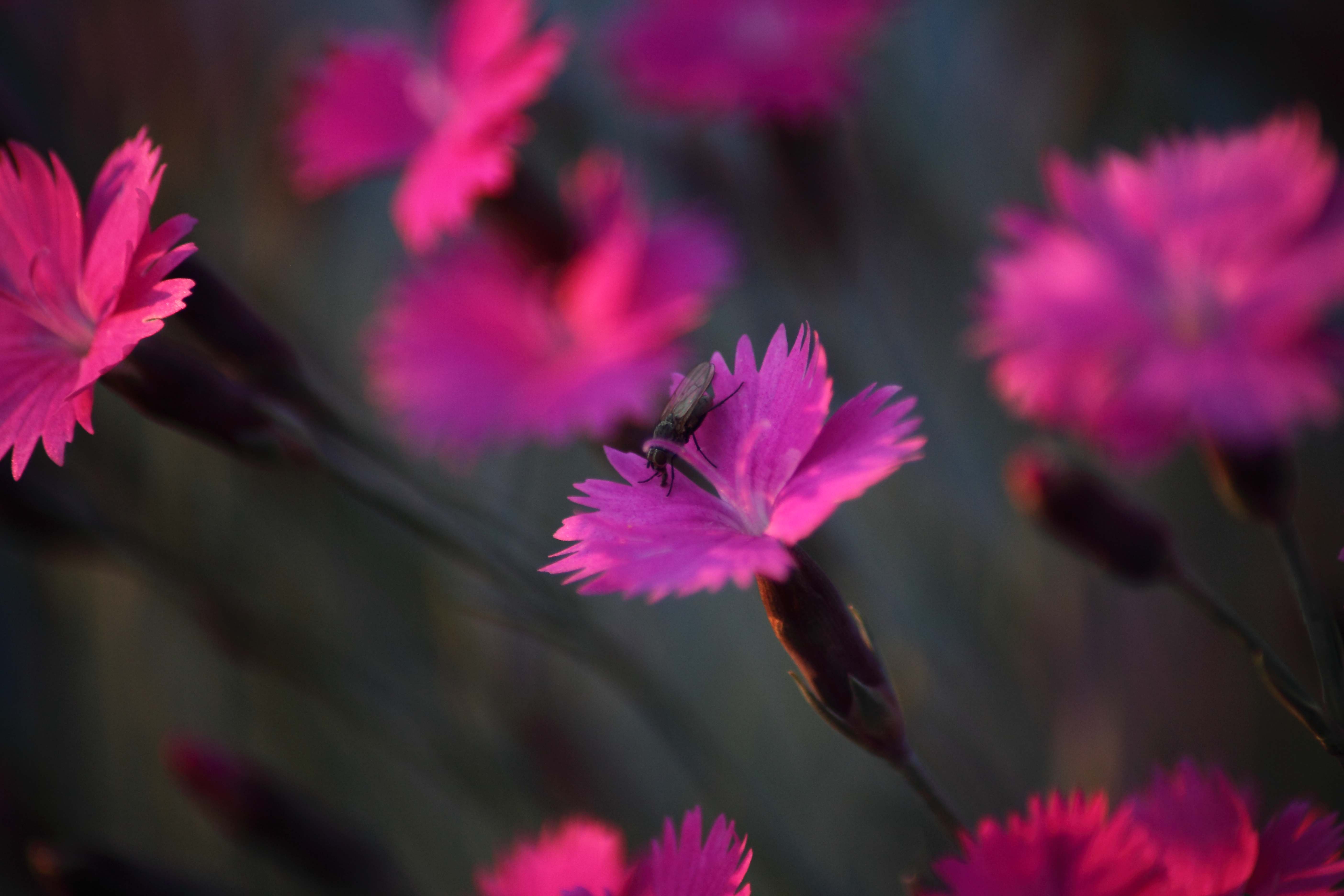 Dianthus Burningwitch Insect Fly Flower Wildlife Nature 5616x3744