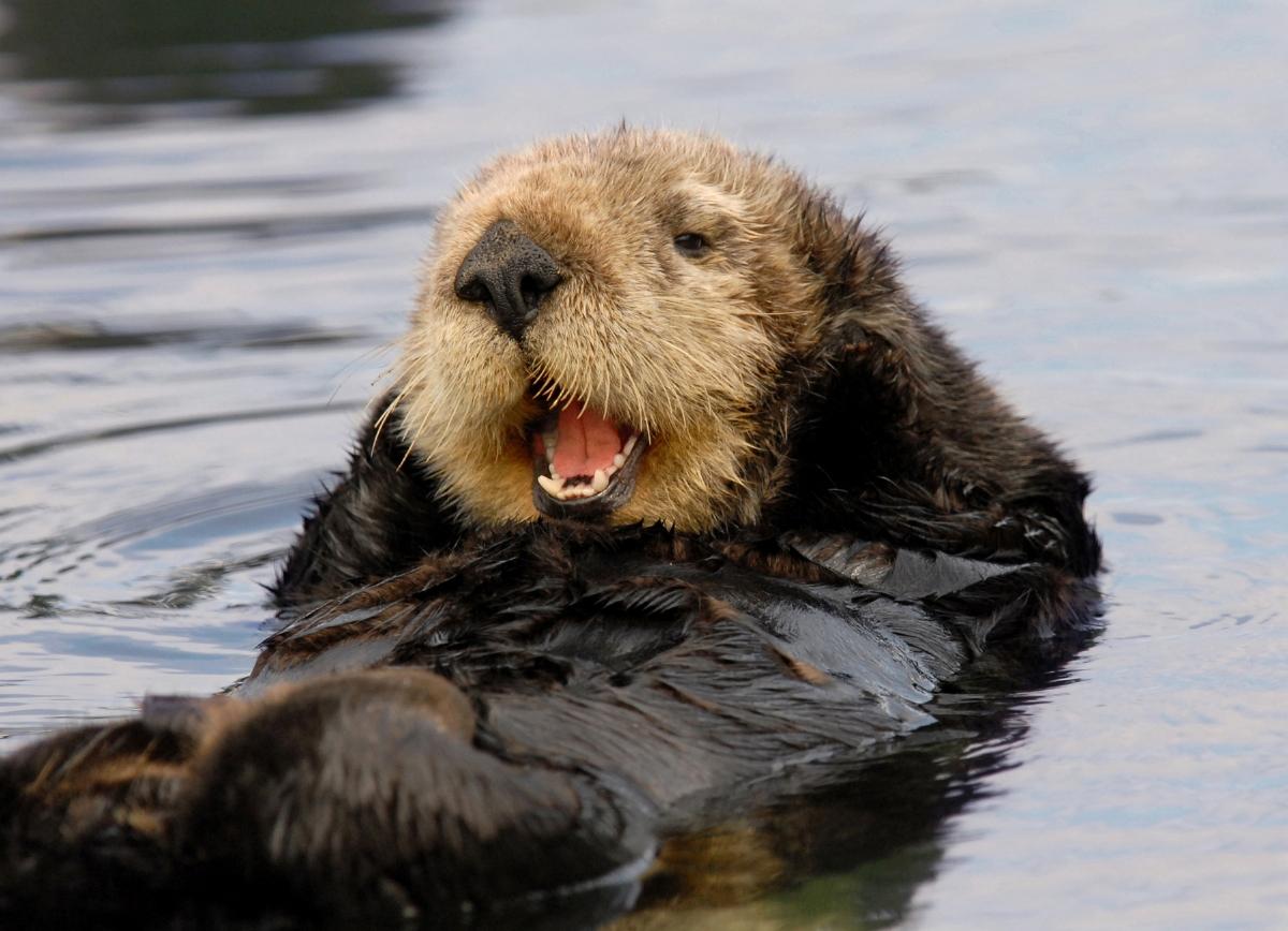 74 Sea Otter Wallpaper On Wallpapersafari