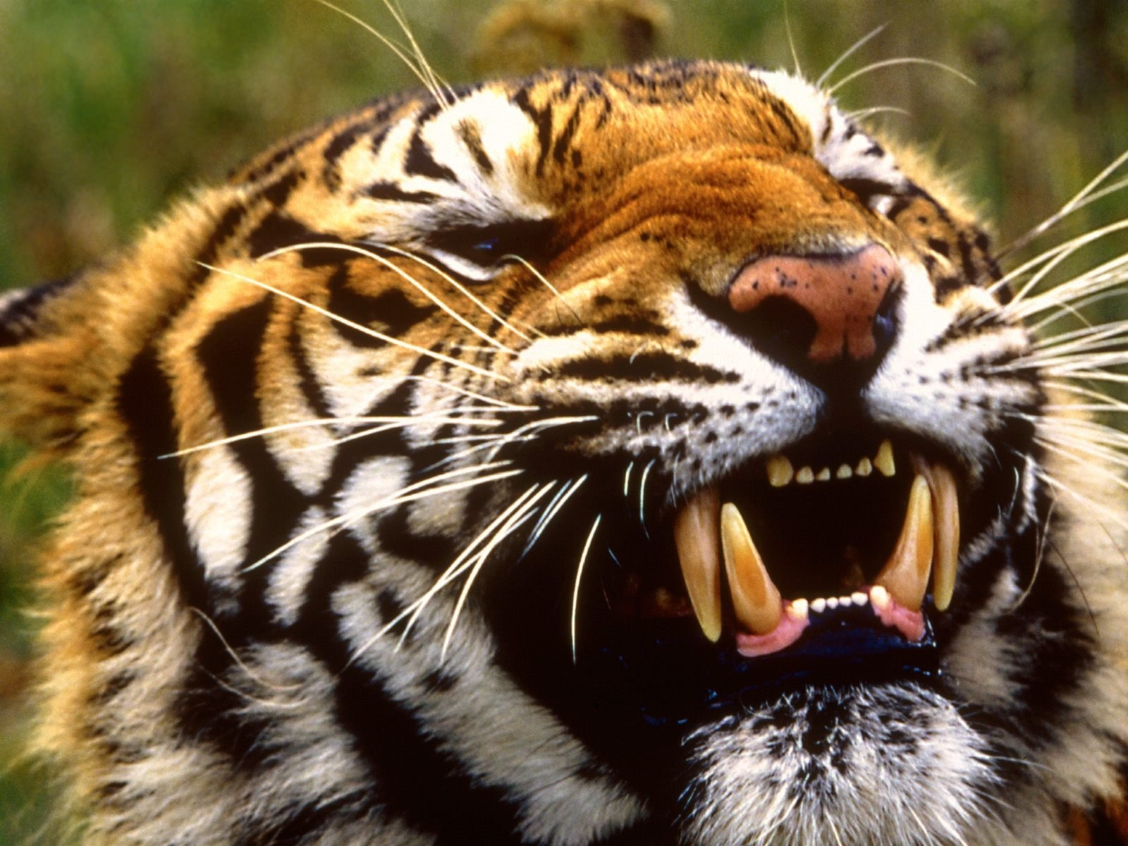 HD Animals Wallpapers Tigers Wallpapers Tiger Wallpaper for 1600x1200