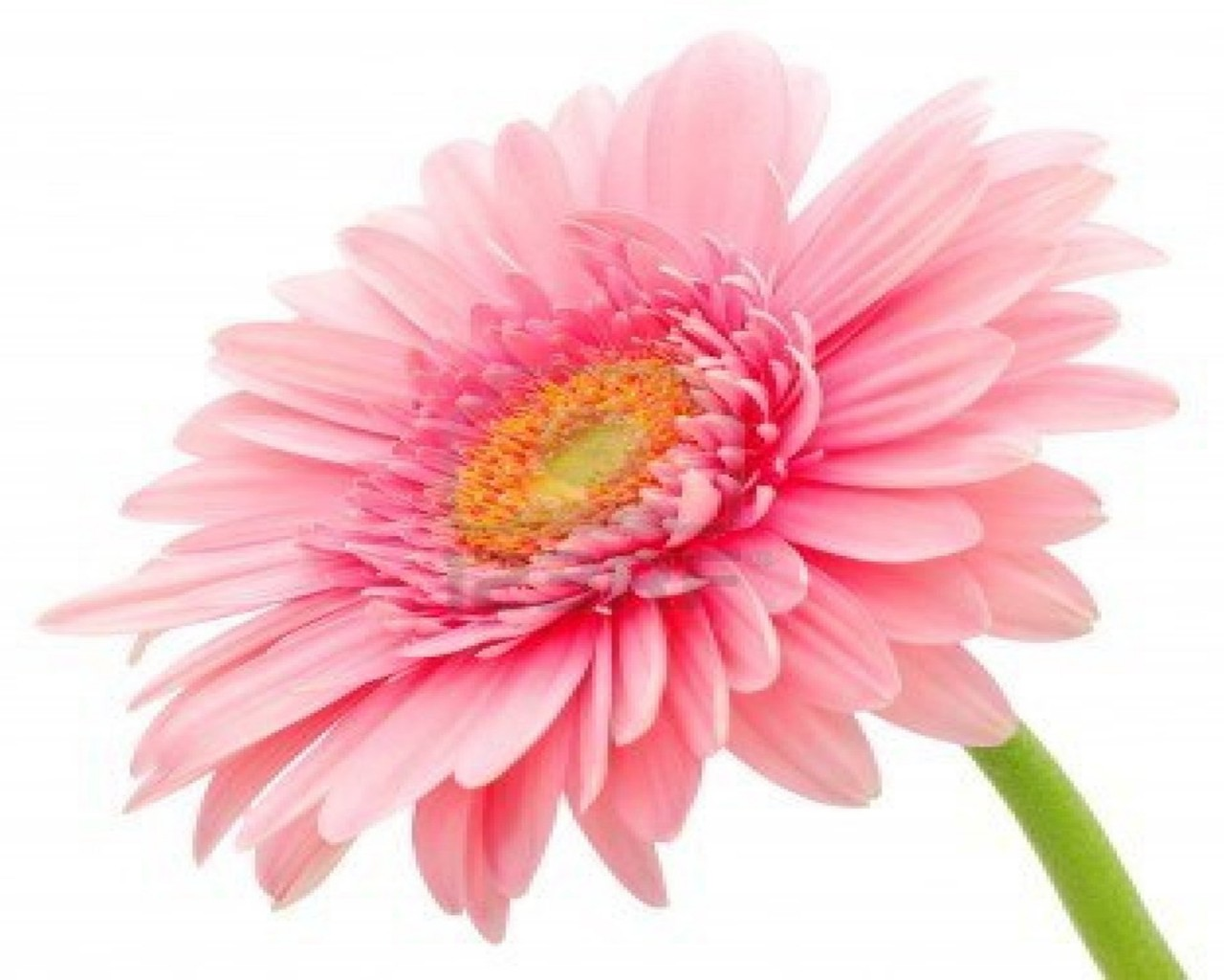 Gerbera Daisy Flower Wallpaper 2 Wallpapers13com 1280x1024