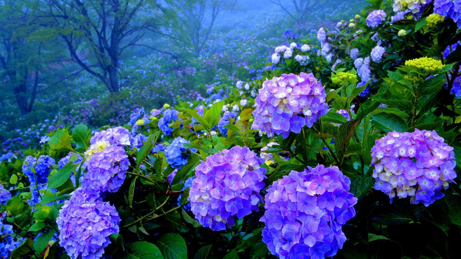 Beautiful Hydrangea Garden Hd Wallpaper Wallpaper List 1920x1080