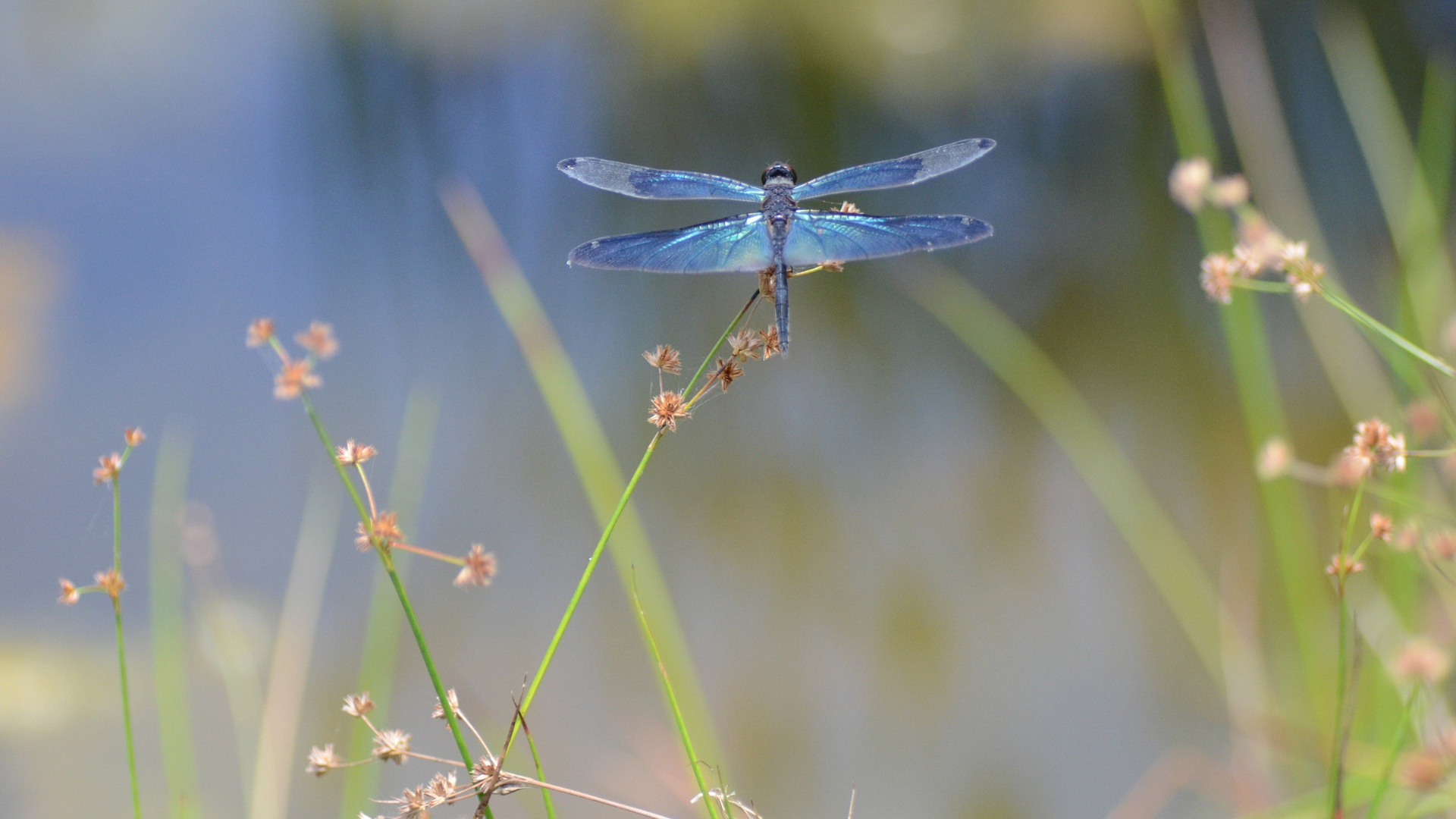 Dragonfly Backgrounds Download 1920x1080