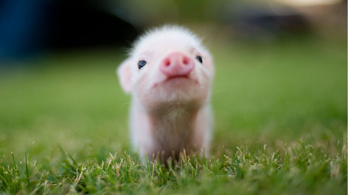 Cute Baby Teacup Pigs 2016 Car Release Date 1366x768