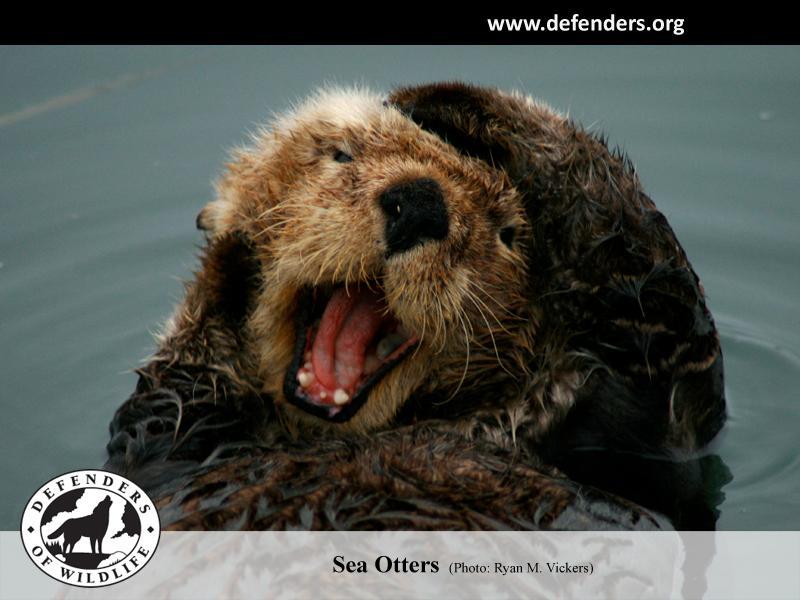 Sea Otters Wallpaper Sea otter 800x600