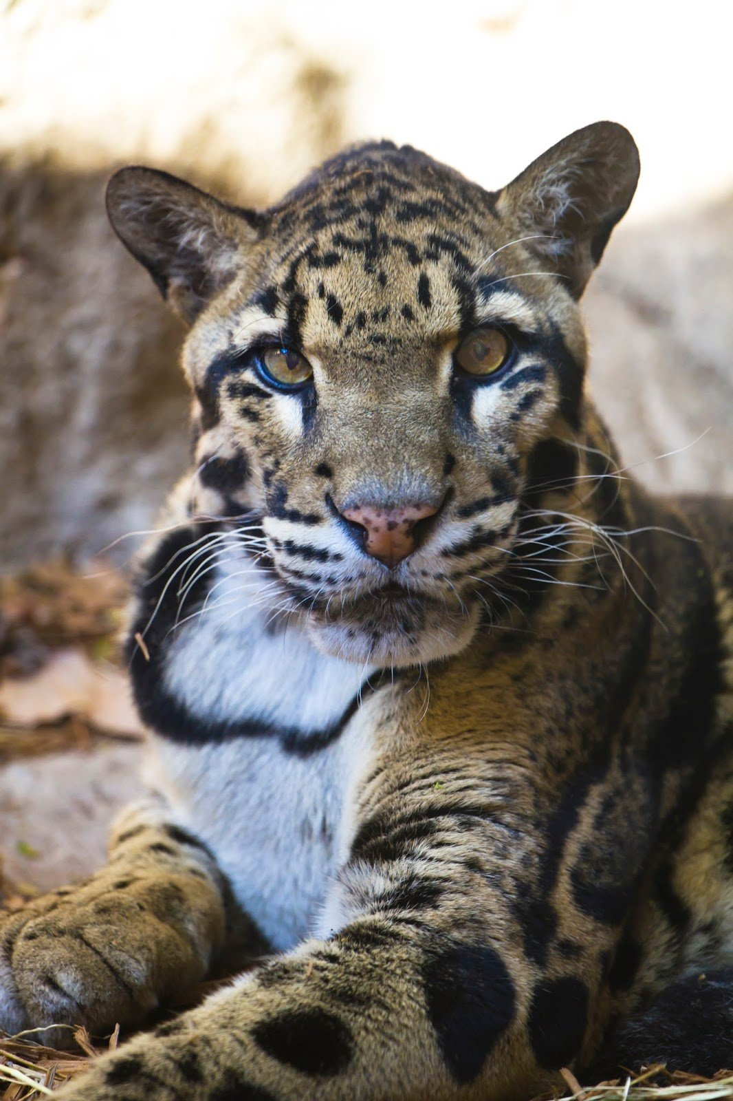 CLOUDED LEOPARD photos   wallpapers the fun bank 1066x1600