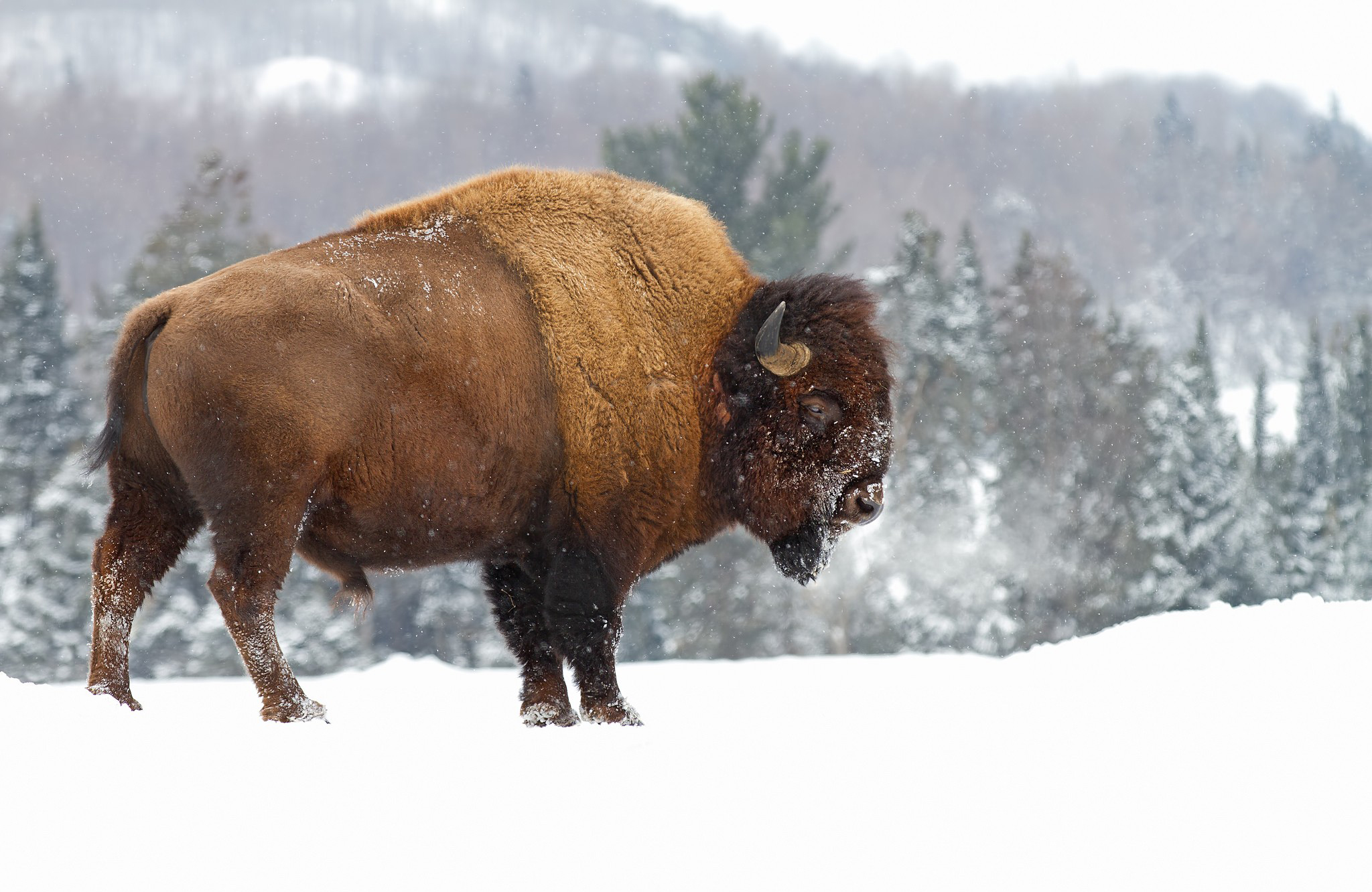 [46+] American Bison Wallpaper on WallpaperSafari