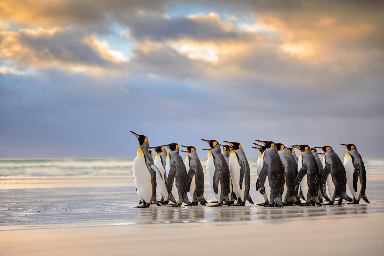 Images Penguins King penguin Falkland Islands Sea Sky Clouds Animals 1280x853