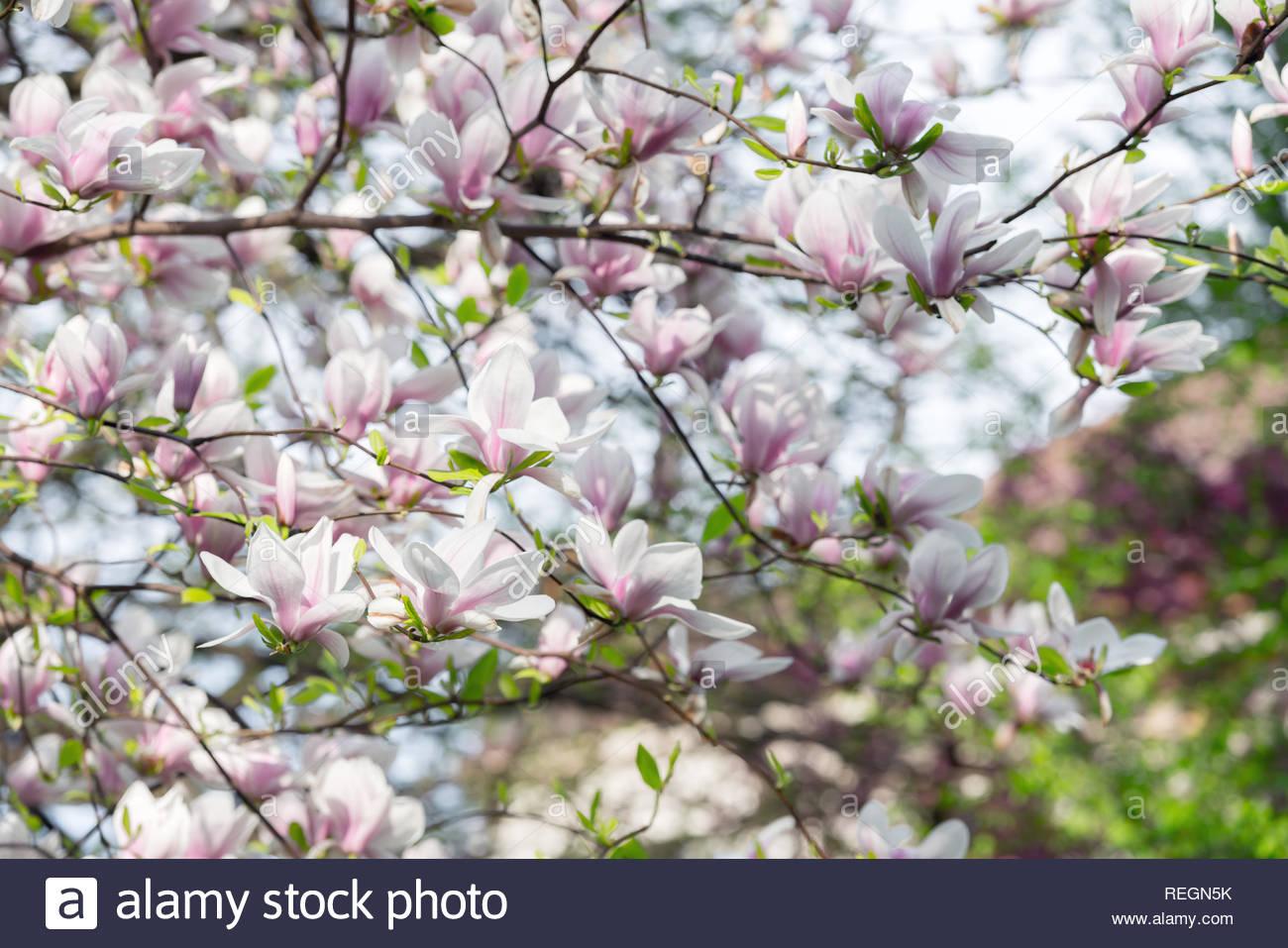 Pink magnolia flowers on spring twigs Springtime nature 1300x957