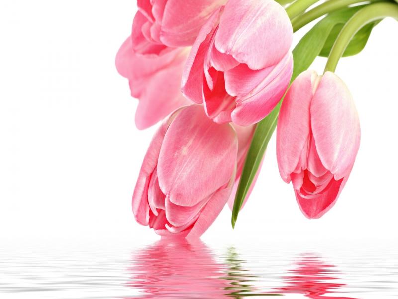 Tulip Flower Wallpaper Wallpapersafari