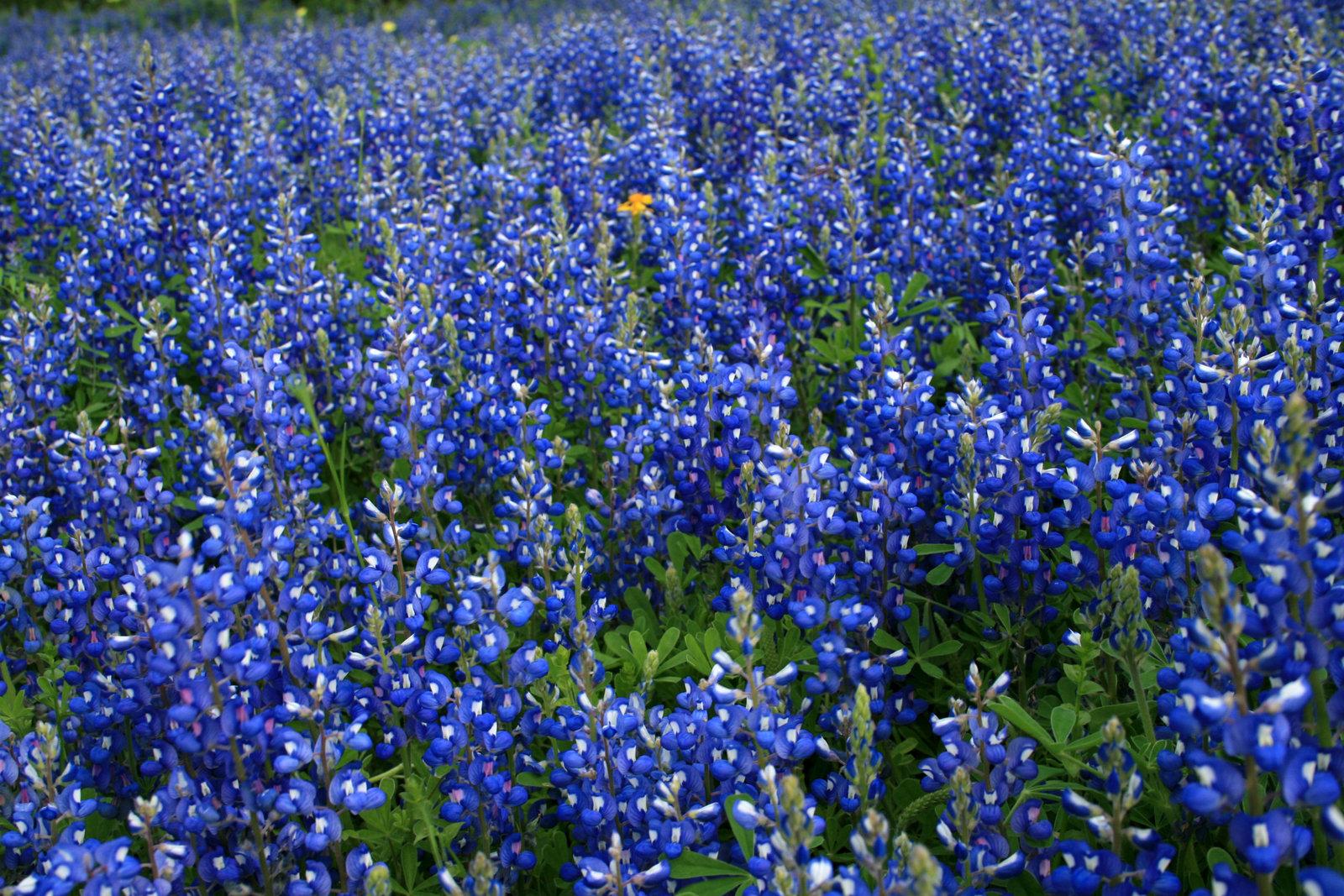 Texas Bluebonnet Flowers Desktop Wallpaper Background