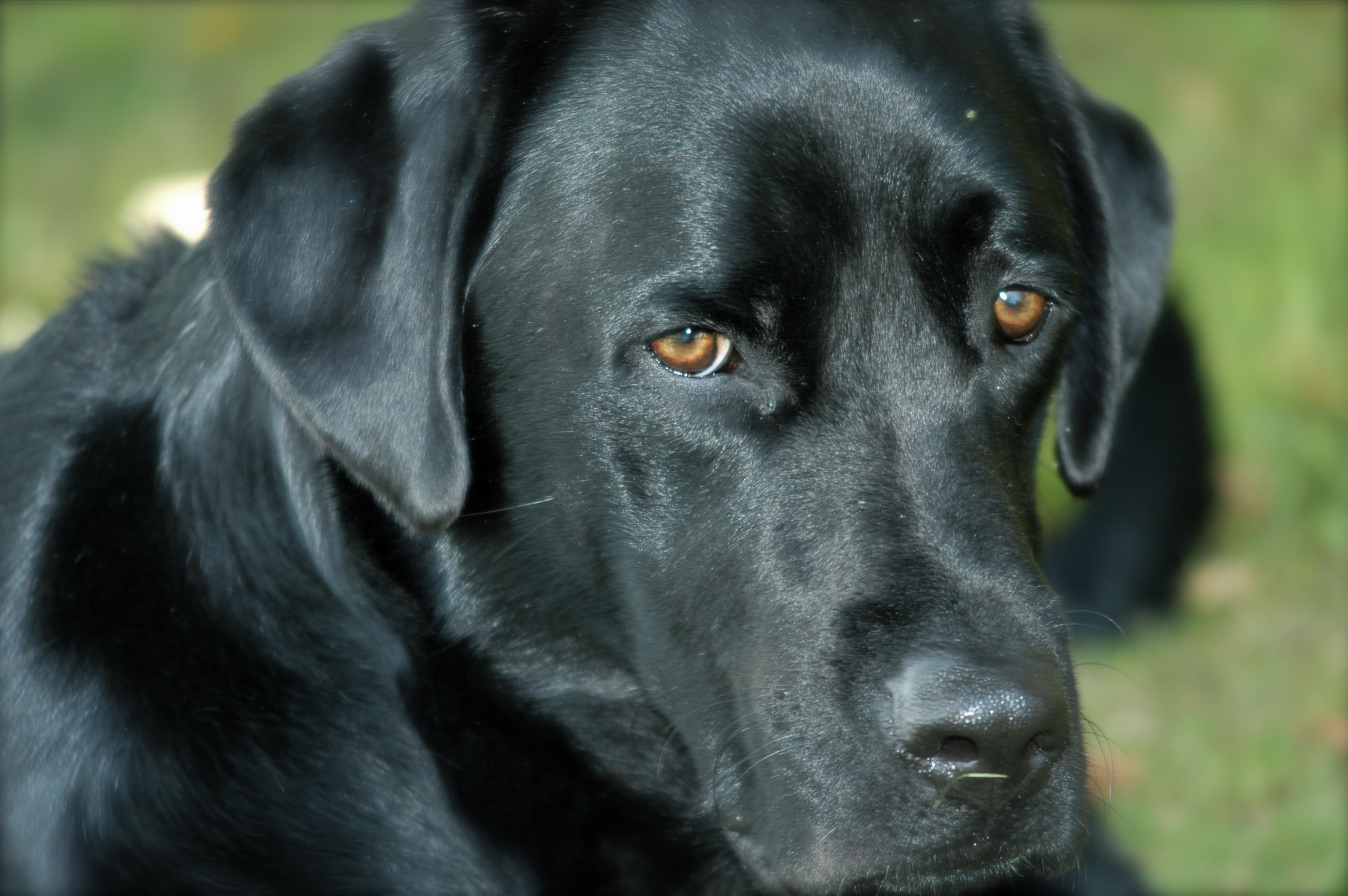 BLACK LAB FREE Wallpapers Background images   hippowallpaperscom 3008x2000