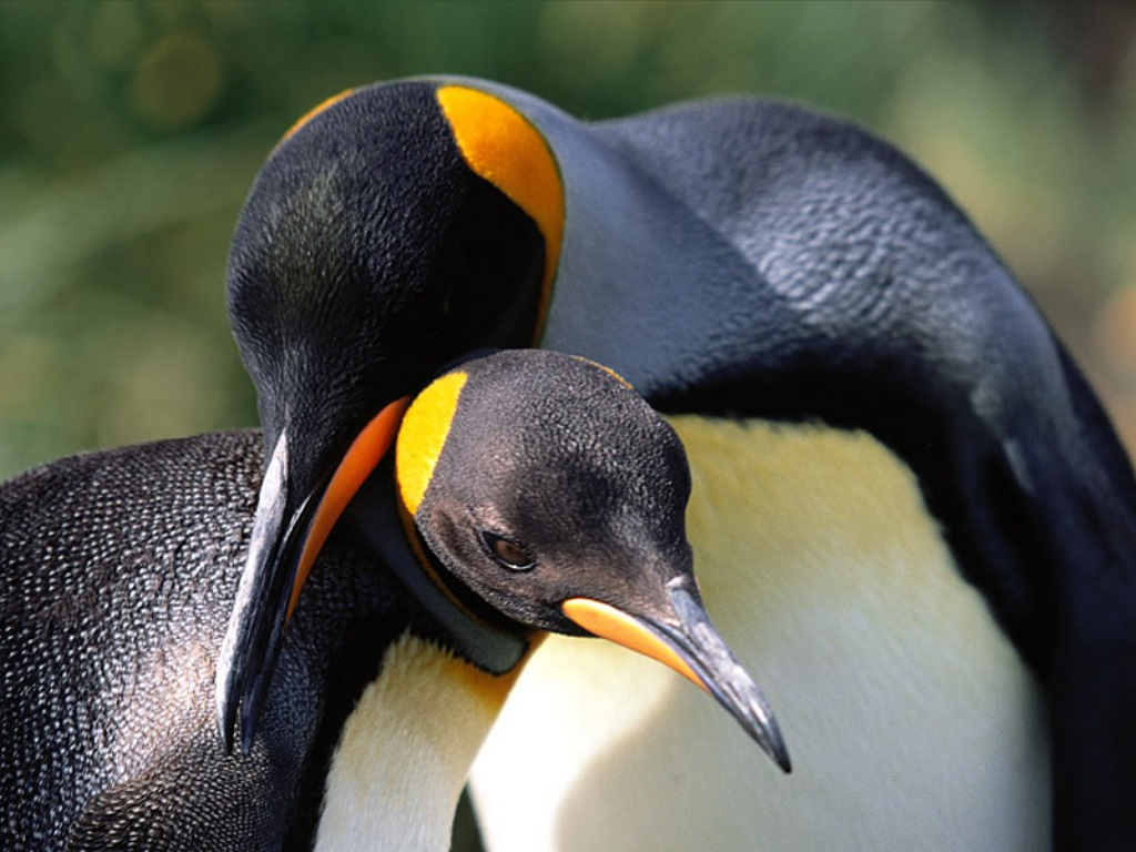 Animal   HD Penguin Wallpapers For Desktop 1024 x 768 PICTURE 1024x768