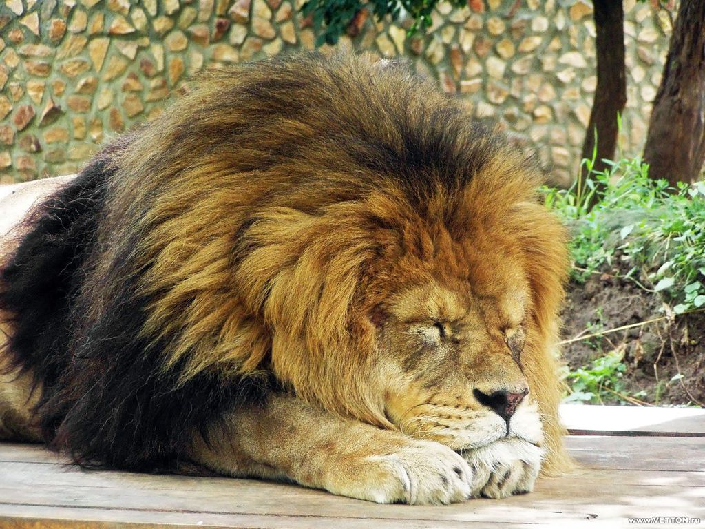 Sleeping Lion Wallpaperjpg   Camp Half Blood Role Playing Wiki 1024x768