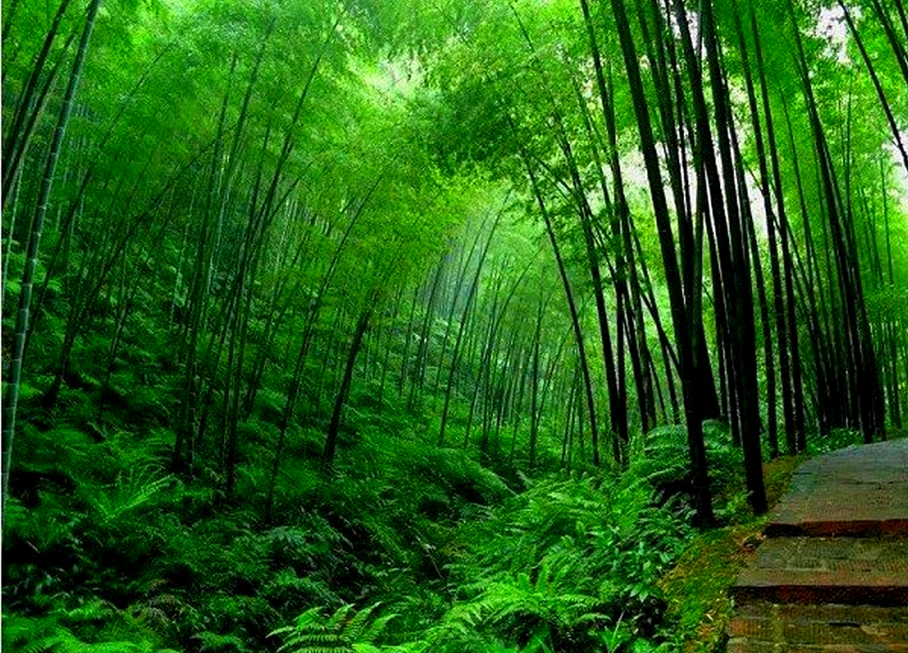 Free download Bamboo Tree Wallpapers hd