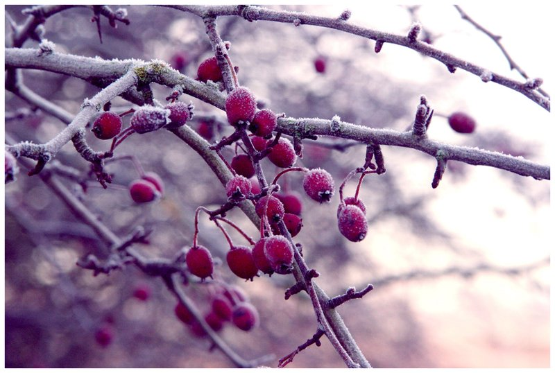 Free download Winter Berries by