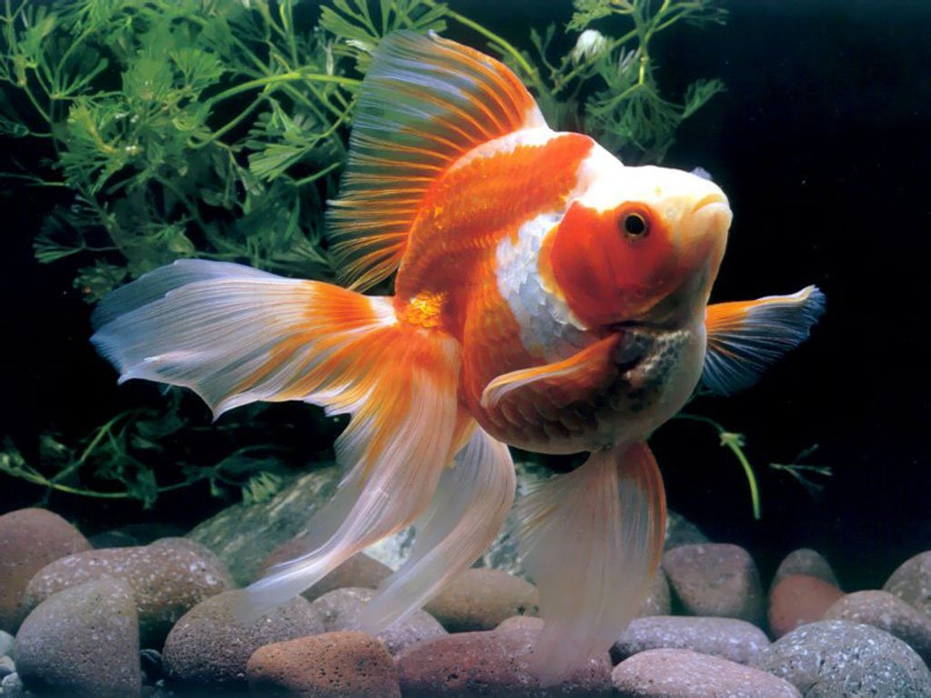 Chinese Goldfish Wallpaper 1024x768 Chinese goldfishpet goldfishgold 1024x768