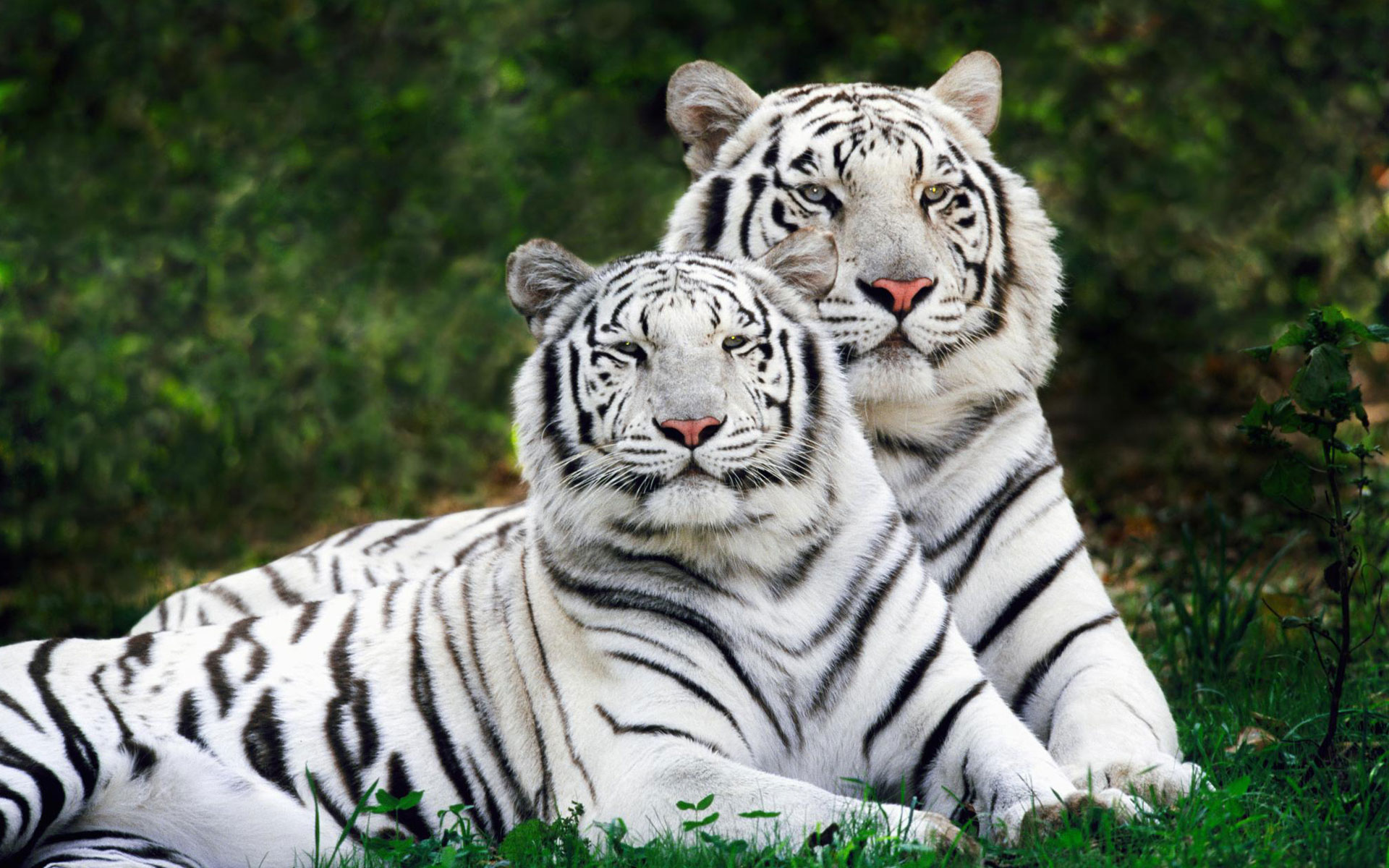 White Bengal Tigers Widescreen Wallpapers HD Wallpapers 1920x1200