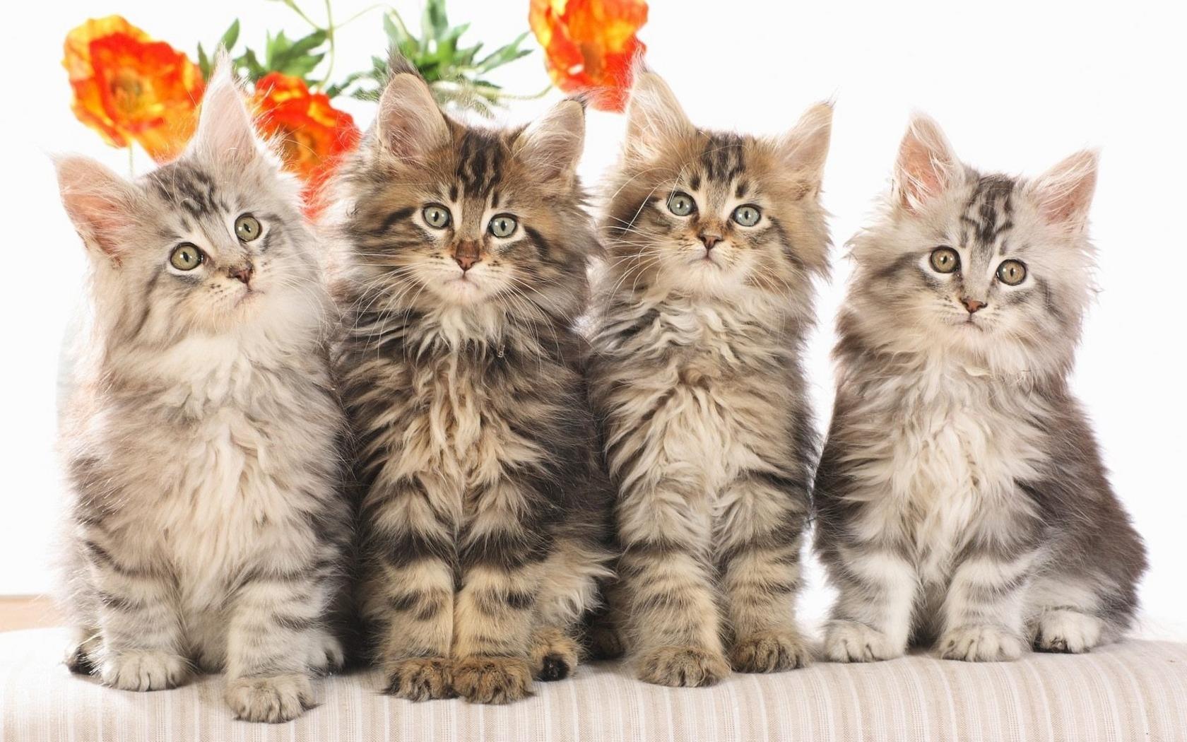 kitten pictures for wallpaper wallpapersafari