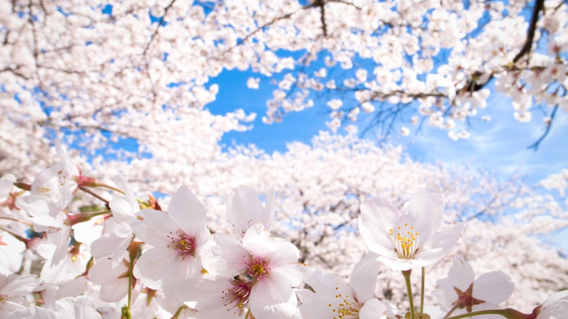 45+ Cherry Blossom Wallpaper HD on WallpaperSafari
