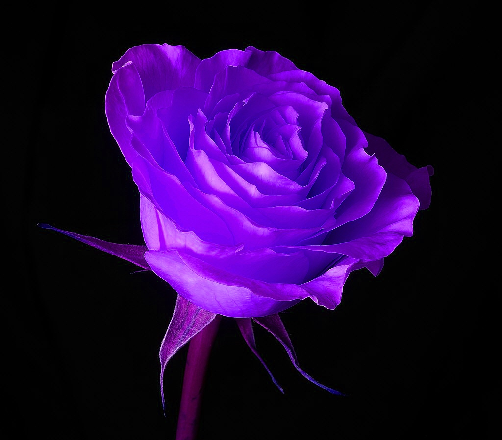 43+] Free Wallpaper of Purple Roses on