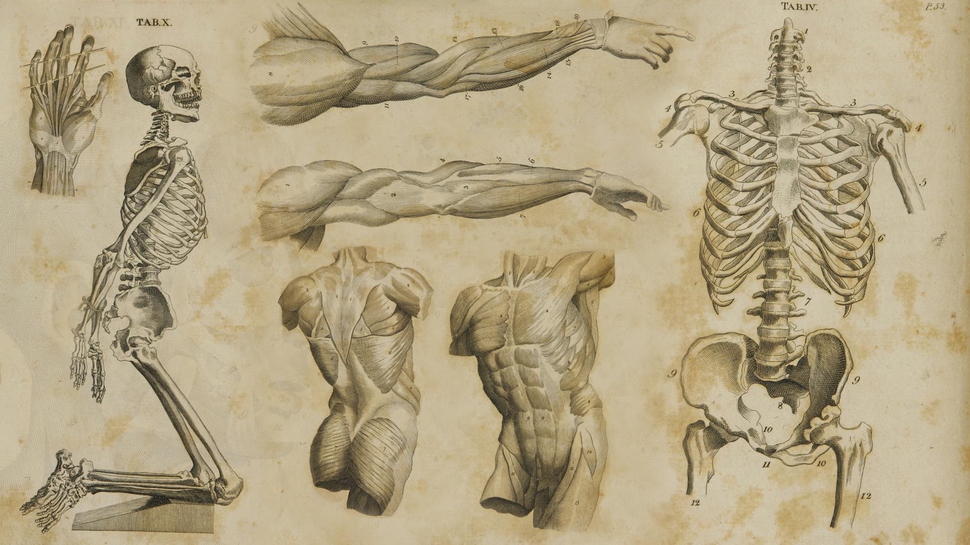 Human anatomy for art