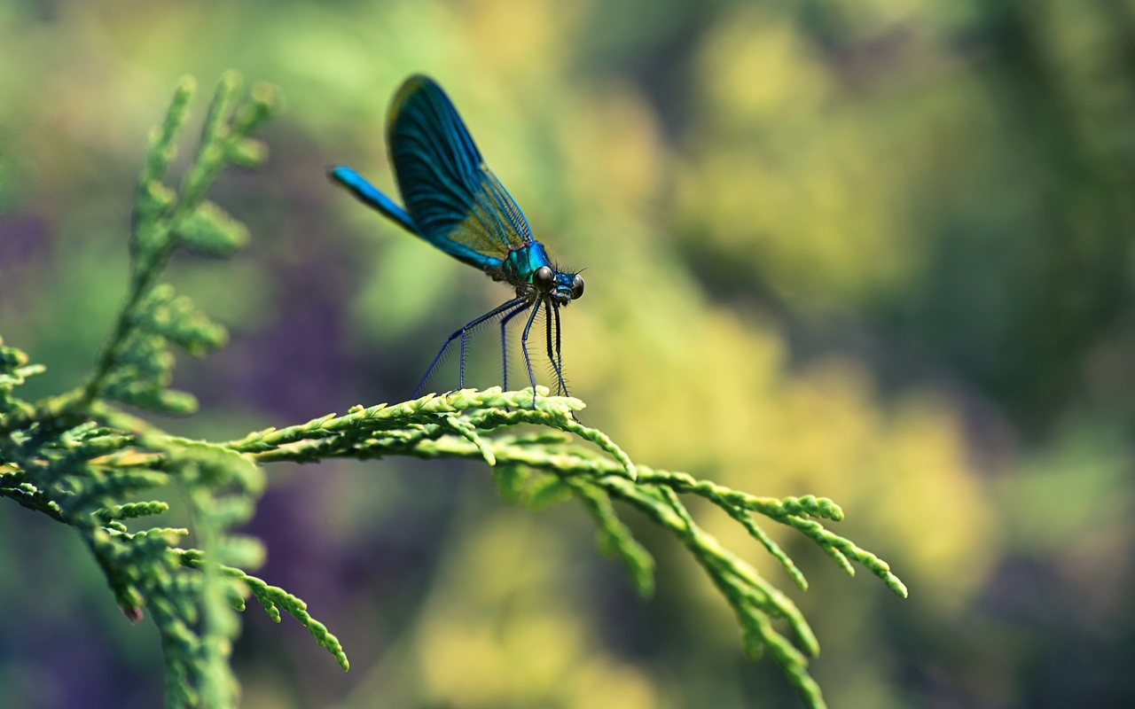 Dragonfly wallpaper 20869 1280x800