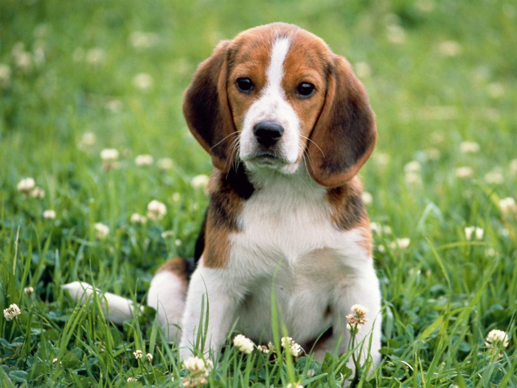 Beagles Beagle 1024x768