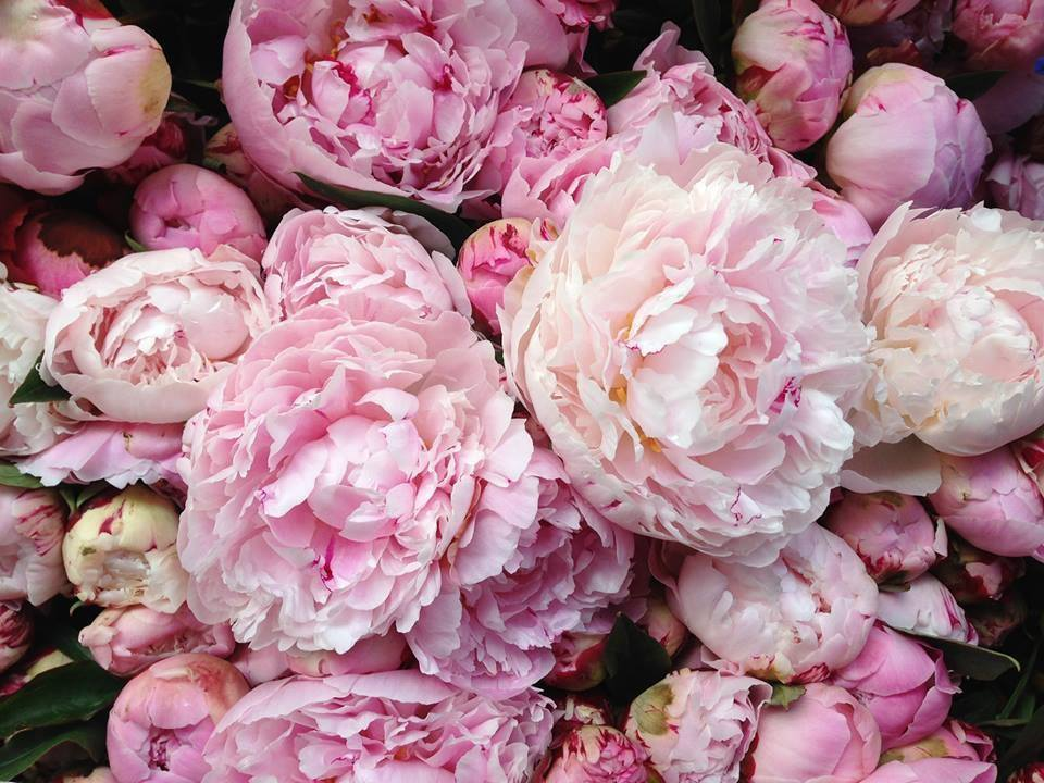 coral peonies wallpapers high - photo #40