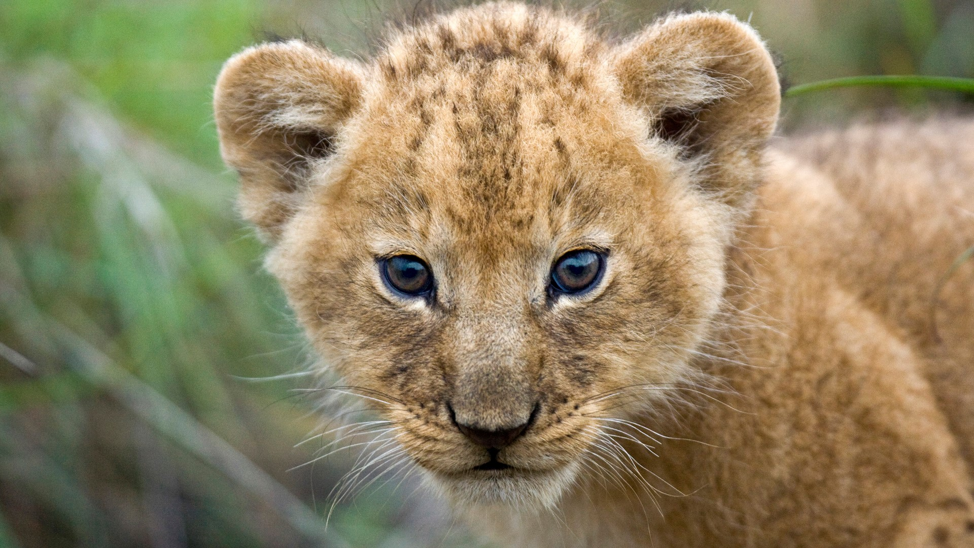 Beautiful Cute Lion Cub Closeup Face HD Wallpapers HD Wallpapers 1920x1080