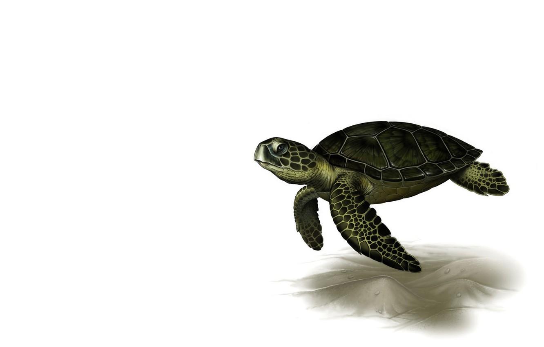Wallpaper rendering turtle art Leslie Casilli Sea Turtle 1332x850