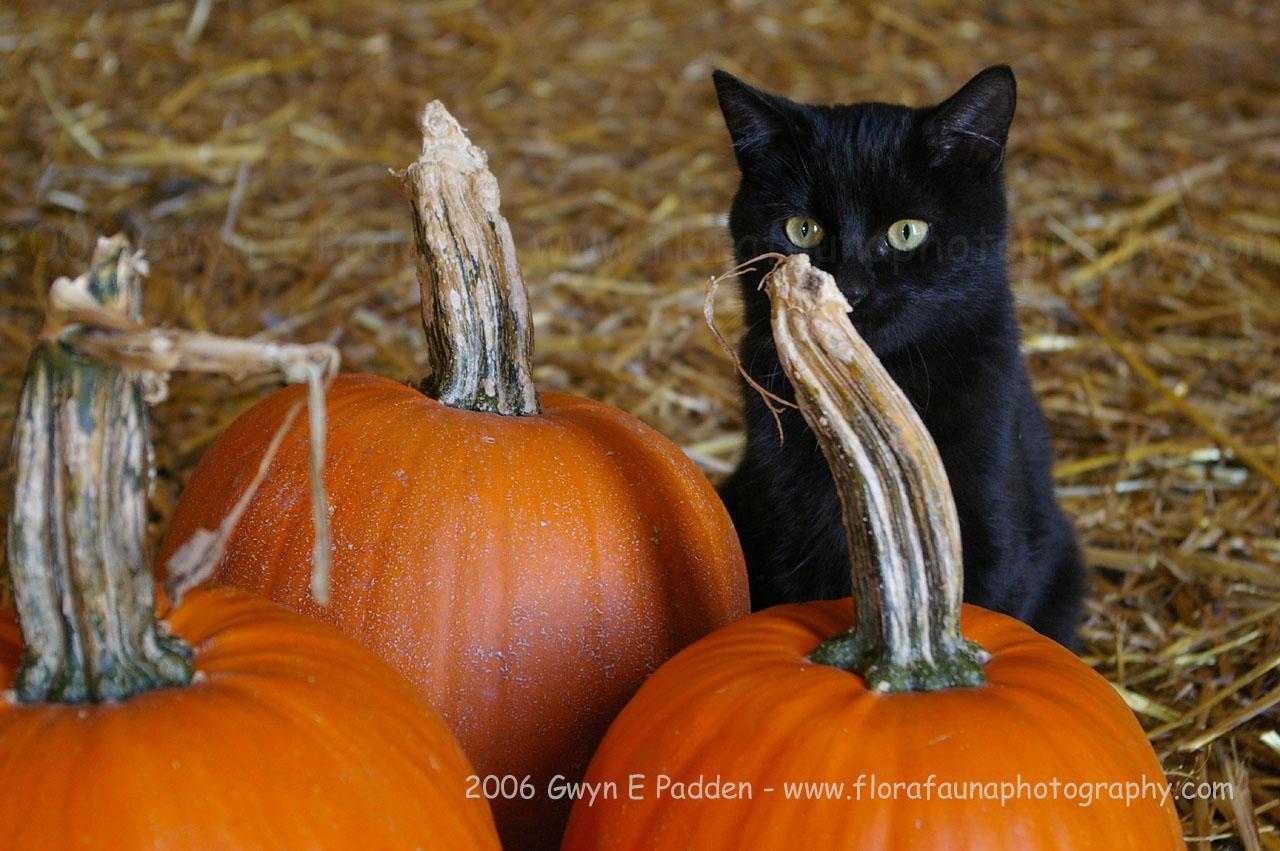 Most Inspiring Wallpaper Halloween Kitten - k8vGpj  Snapshot_866480.jpg