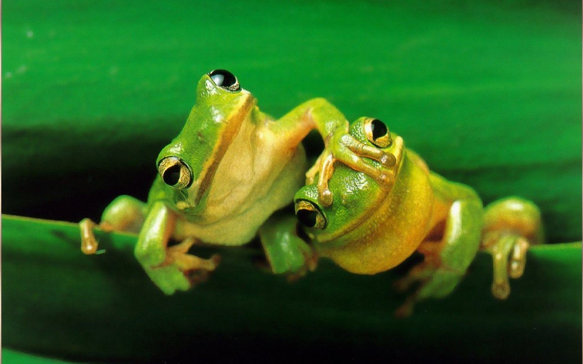Cute Frog Wallpapers 171 Long Wallpapers 1890x1182