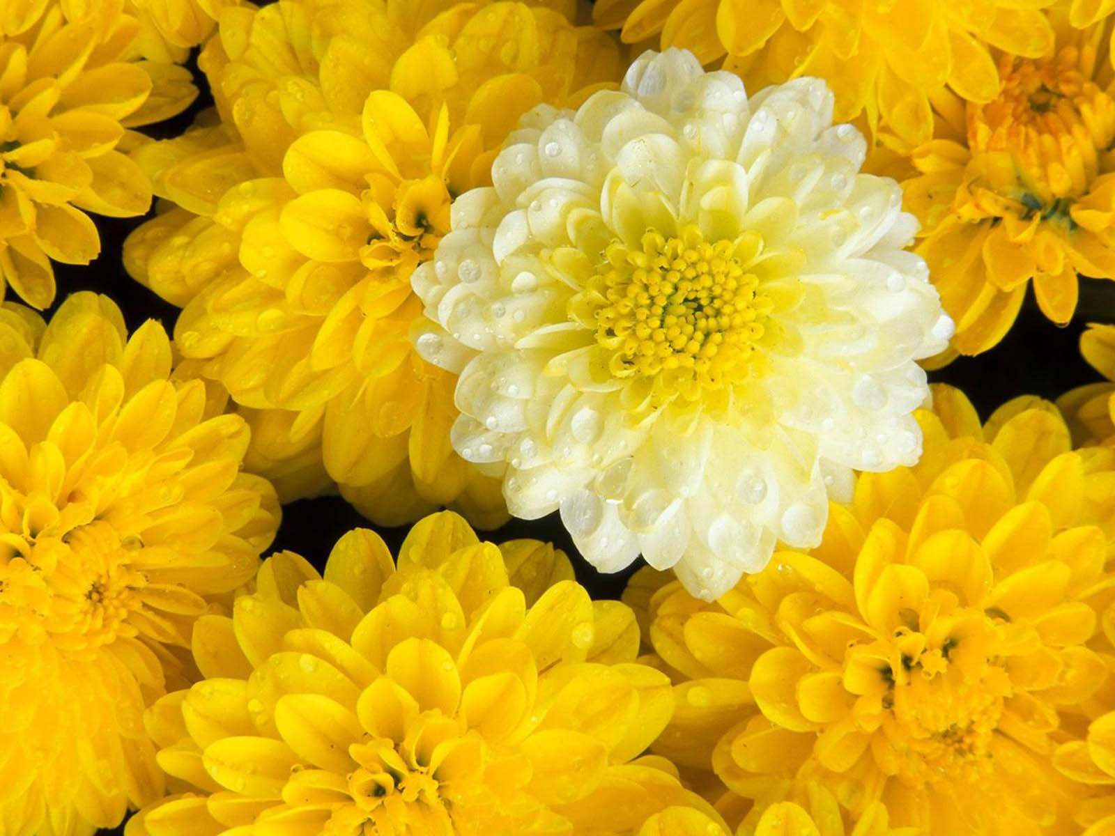 wallpapers Marigold Flowers Wallpapers 1600x1200