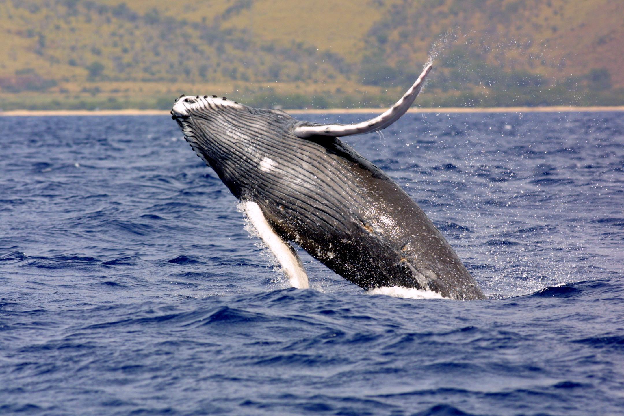 humpbackwhale noaa largejpg 2160x1440
