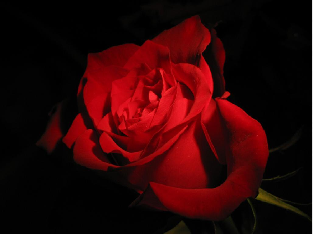 Red Rose Black Backgrounds 1028x768