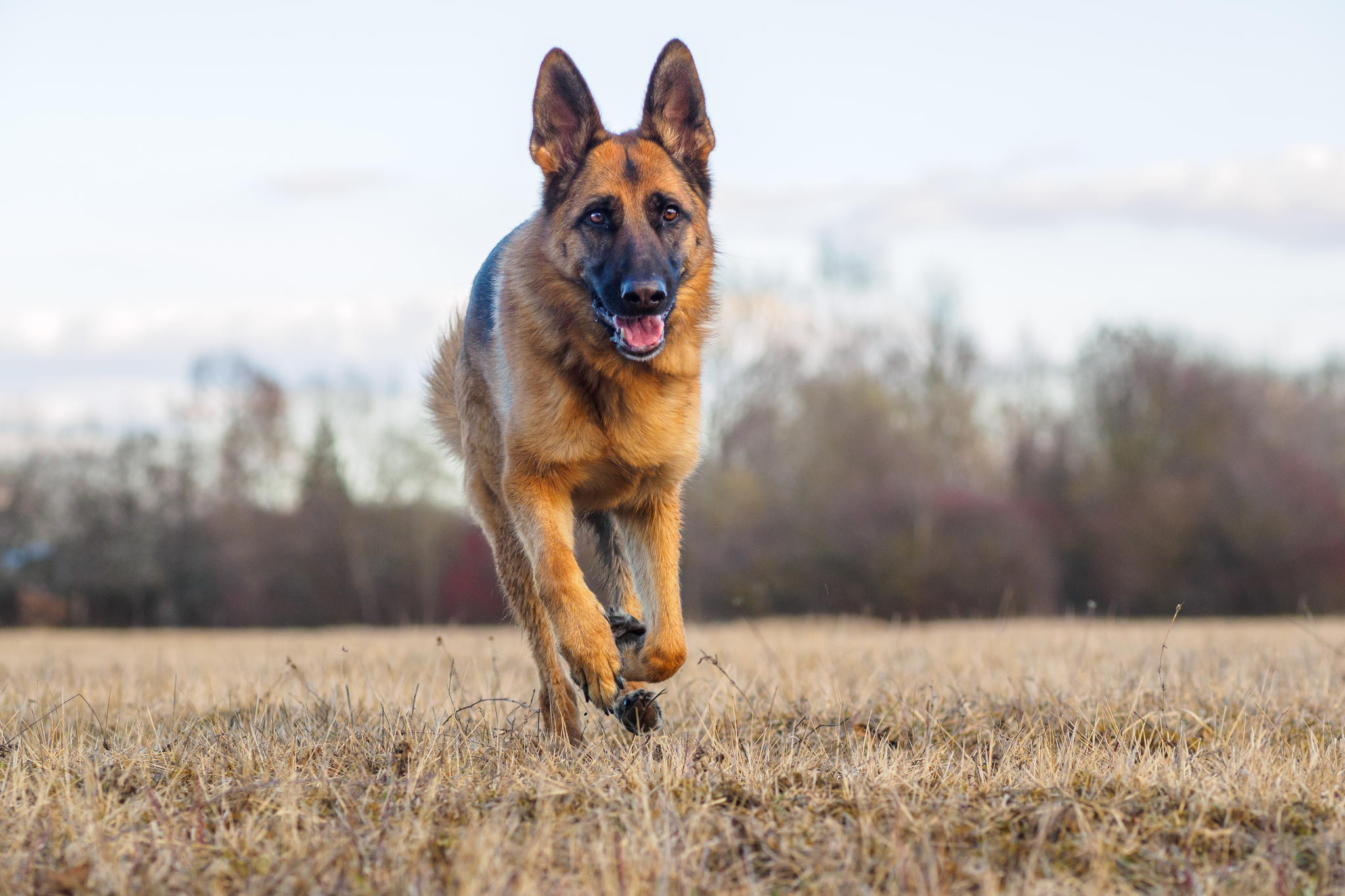 German Shepherd Wallpapers For Desktop Wallpapersafari