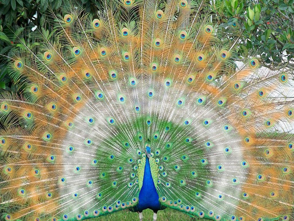 Beautiful Peacock Wallpapers Download 1024x768