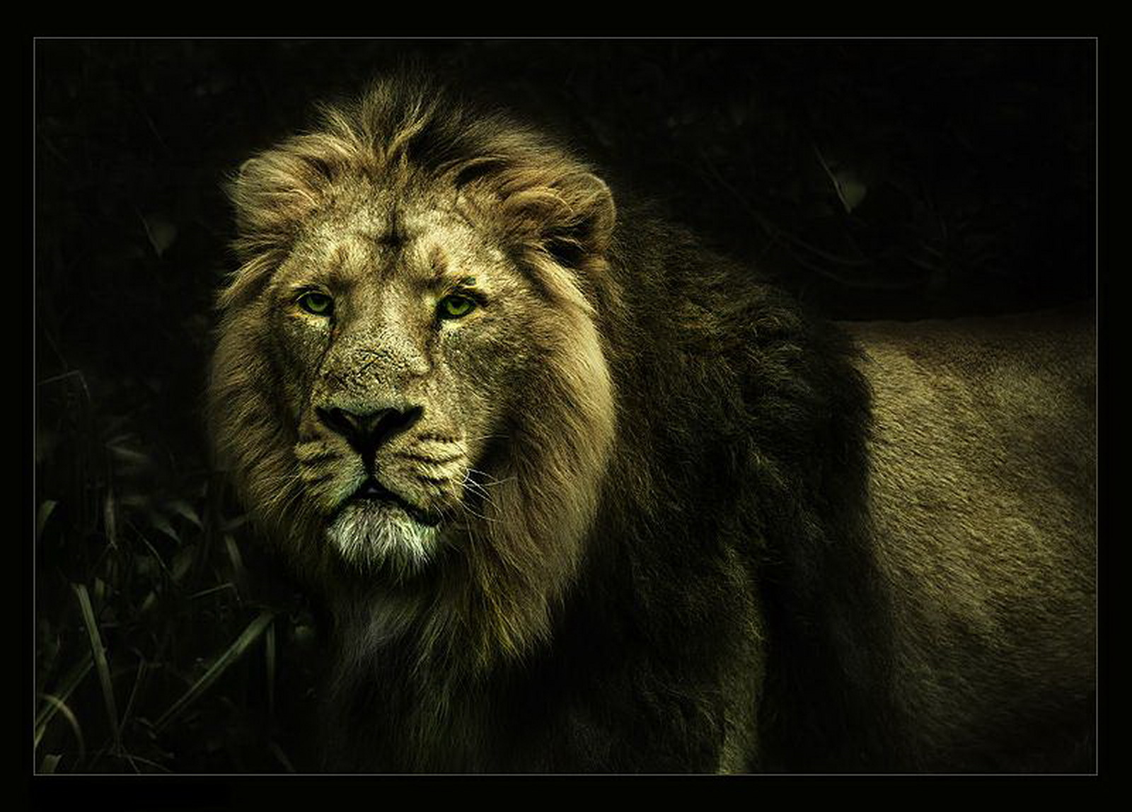 cool lion wallpaper dowload 1600x1148