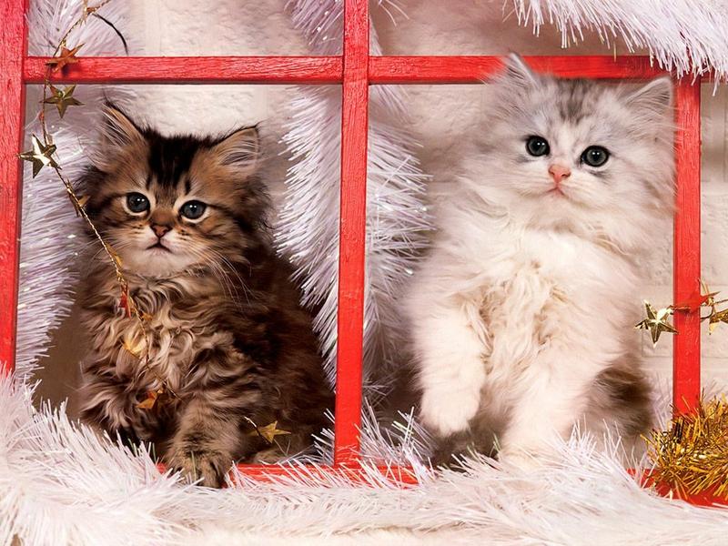 Cat Christmas Christmas kittens Animals Cats HD Desktop Wallpaper 800x600