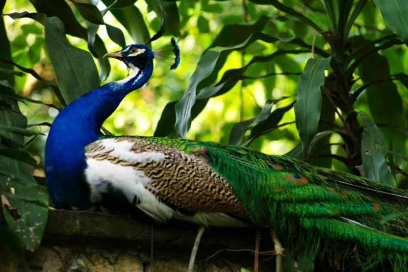 Congo Peafowl Pictures HD Wallpapers Pics 800x533