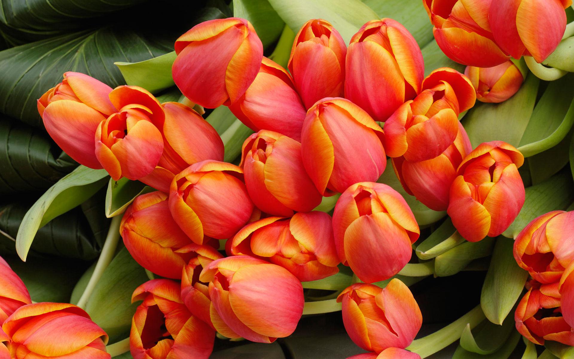 Обои на рабочий стол цветы тюльпан