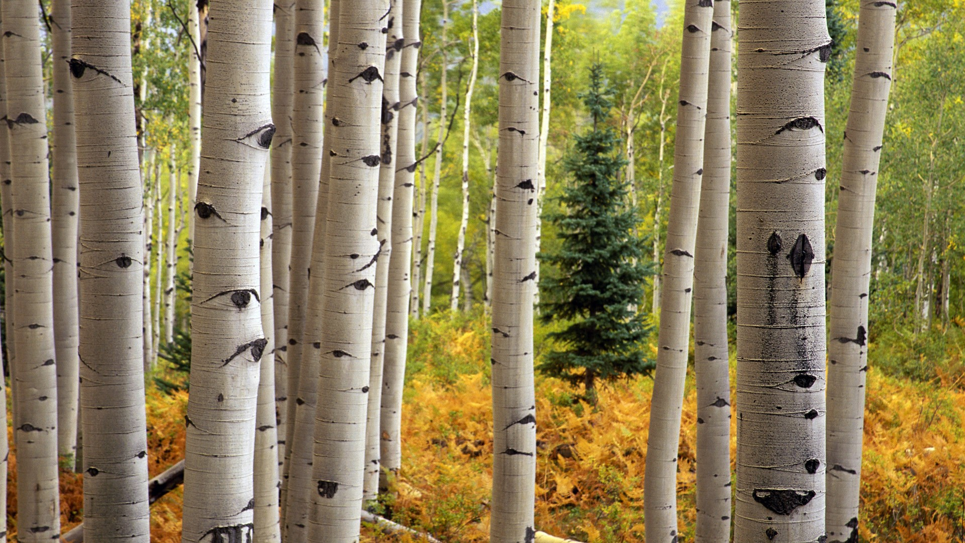 aspen trees wallpaper 1920x1080